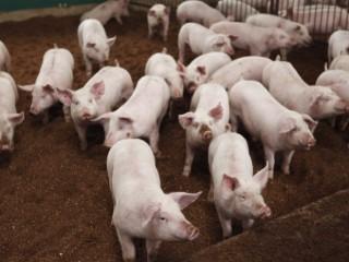 島根県産のブランド豚「まる姫ポーク」使用